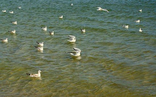 Gulls śmieszki, Seagull, śmieszka, Bird, Amp Shipping