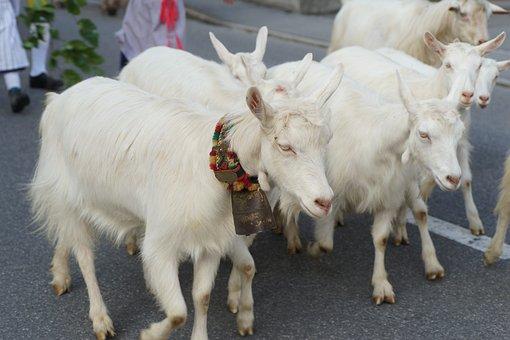 Goats, Alp Output, Customs, Innerrhoden, Switzerland