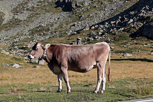 Mountain Cow, Alpine, Cow, Pasture, Mountains