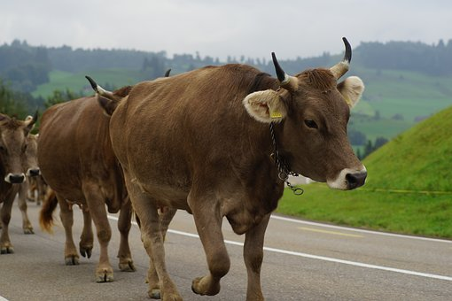 Cows, Désalpe, Switzerland, Alpine, Customs, Appenzell