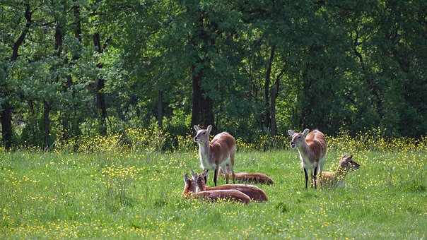Antelope, Cobe De Lechwe, Forest, Green, Cow, Animal
