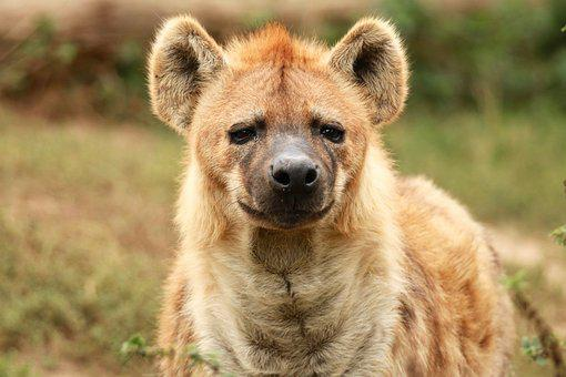 Hyena, Animal Portrait, Carnivores, Scavengers, Safari