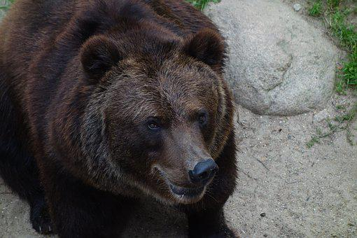 Bear, Animal, Nature, Mammal, Brown Bear, Predator