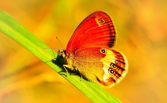 Strzępotek Perełkowiec, Insect, Butterfly Day, Animals