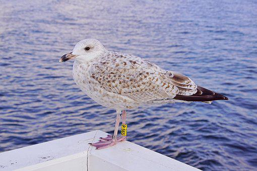 Seagull, Sea, Bird, Animals, Nature, Beach, Water