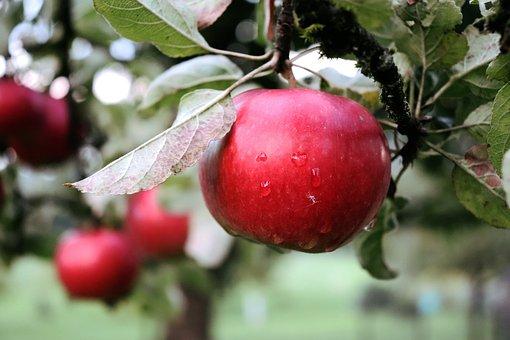 Apple, Apple Tree, Fruit, Orchard, Healthy, Harvest