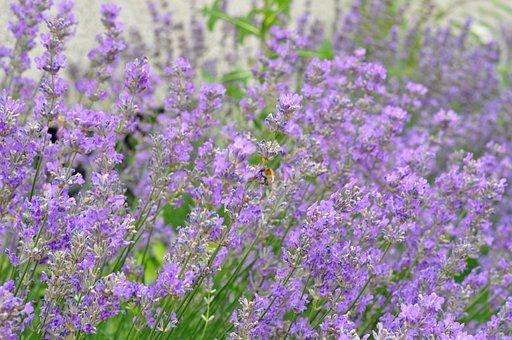 Lavender, Flowers, Summer, Garden, Flora, Aroma