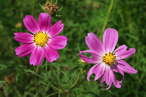 Autumn, Cosmos, Flowers, Nature, Plants, Tabitha, Pink