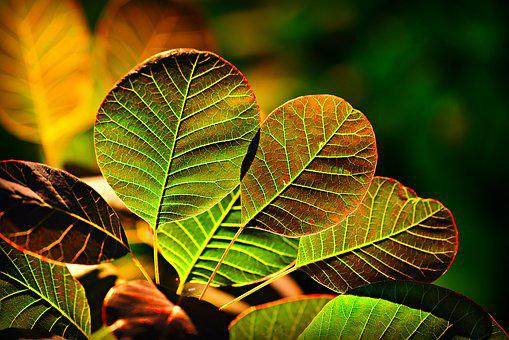 Leaf, Foliage, Plant, Vein, Pattern, Back Lighting