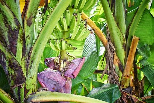 Banana Tree, Banana, Background