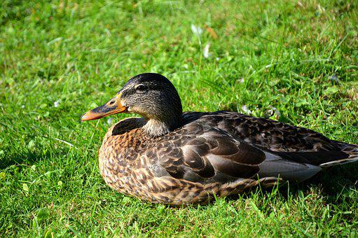 Duck, Animals, Water Bird, Bird, Poultry, Animal World