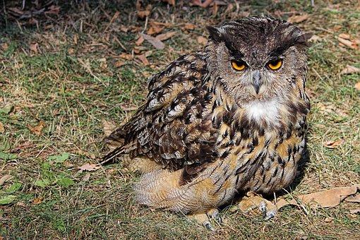 Owl, Eagle Owl, Young Bird, Bird, Raptor, Bird Of Prey