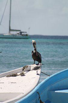 Pelican, Pelikan, Water, Caribbean, Nature, Bird