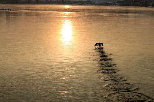 Bird, River, Water, Nature, Animal, Plumage, Swimming