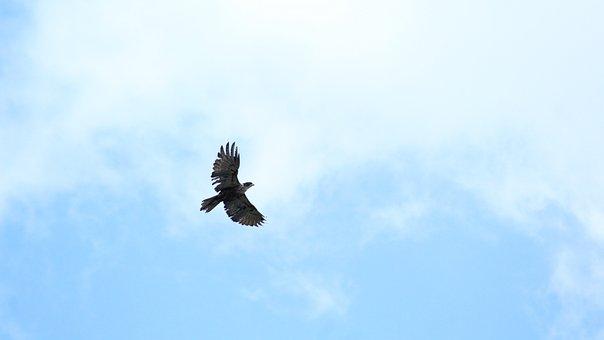 Eagle, Birds Of Prey, Bird, Raptor, Animal, Nature