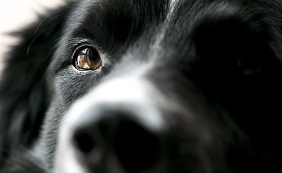 Dog, Eye, Bordercollie, Animal, Head, Black, Nature