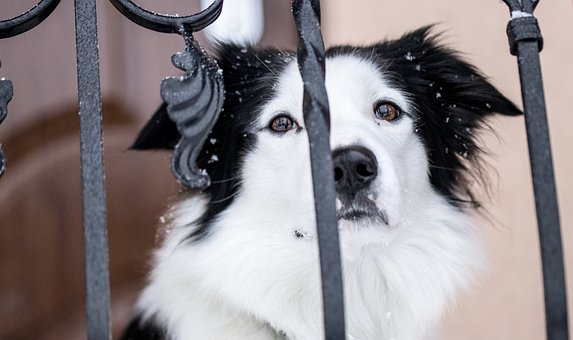 Dog, Bordercollie, Blackandwhite, Sweet, Pet, Nice