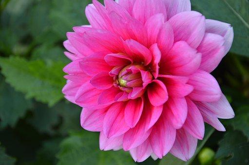 Dahlia, Flower, Blossom, Bloom, Bloom, Garden Plant