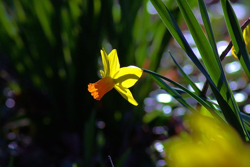 Backlit Ozark Daffodil, Garden, Bloom, Plant, Flowers