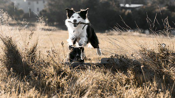 Jumping, Dog, Bordercollie, Pet, Animals, Dogs, Happy