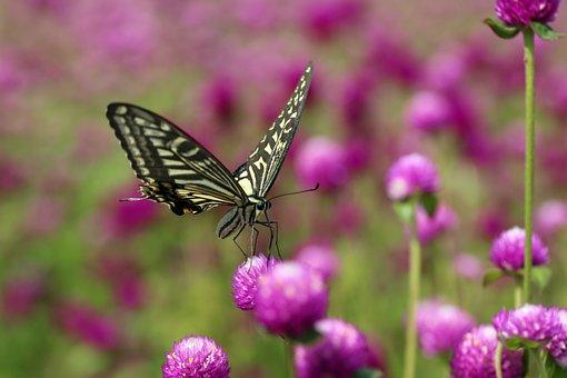 Angel Pink, Butterfly, Swallowtail, Flowers, Beautiful