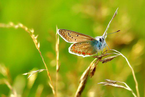 Common Blue, Lycaenidae, Butterfly, Butterflies, Insect