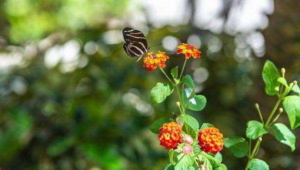 Butterfly, Wild Flower, Mint, Insect, Nature
