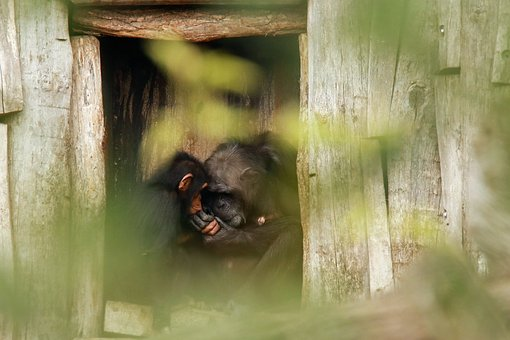 Motherly Love, Monkey, Chimps, Care, Snuggle, Sweet