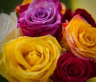 Roses, Colorful, Romantic, Blossom, Bloom, Close Up
