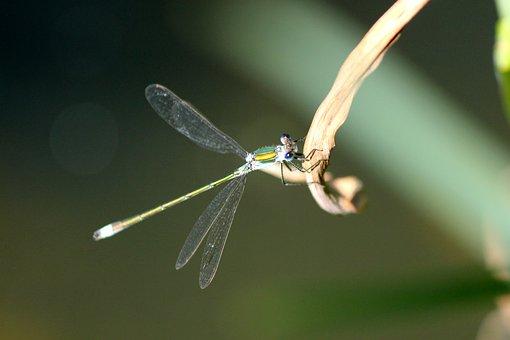 Dragonfly, Insect, Diptera, Arthropod, Macro, Closeup