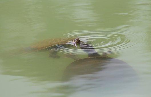 Long-necked Turtles, Courtship, Swimming, Ripples, Lake