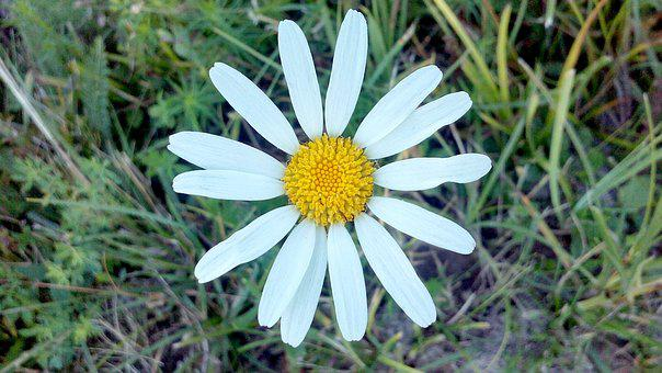 Flower, Nature, White, Field, Daisy, Outdoor, Petals