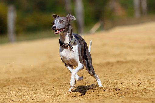 Dog, Greyhound, Pet, Animal Portrait, Dog Portrait