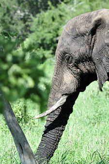 Elephant, Mammal, South Africa, Nature, Pachyderm