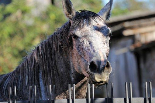 Arabian Horse, Head, Animal, Farm, Stall, Nature