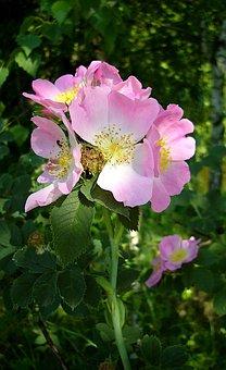 Flowers, Nature, Pink, Summer, Flora, Petals, Wild Rose