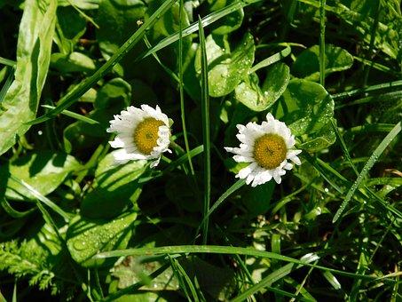 Daisy, Flower, Flowers, Daisies, Summer, Spring, Plant