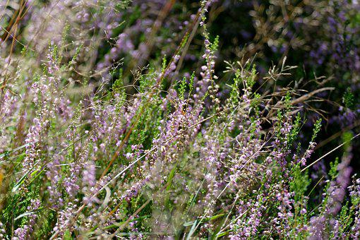 Heather, Heathers, Autumn, Pink, Violet, Flower