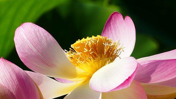 Lotus, Flower, Aquatic Plant, Lake Rosengewächs