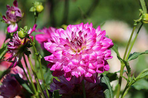 Dahlia, Flower, Bloom, Garden, Green, Leaves, Summer
