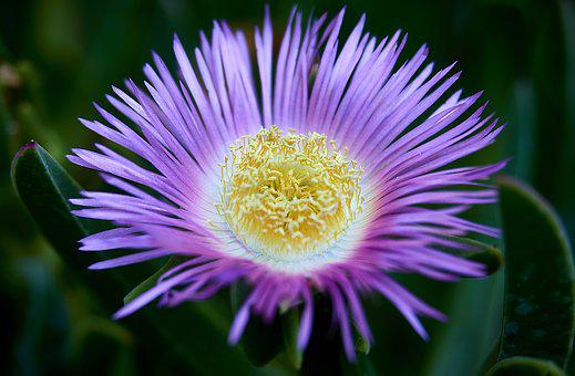 Carpobrotus, Flower, Petals, Nature, Plants, Summer