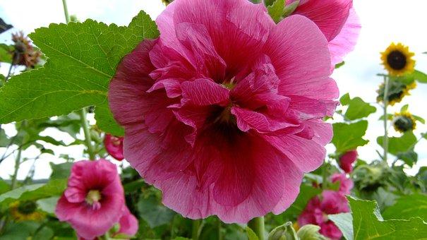 Flowers, Nature, Pink, Petals, Summer, Field, Flora