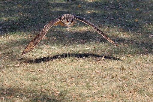 Young Bird, Owl, Eagle Owl, Bird, Bird Of Prey, Flying