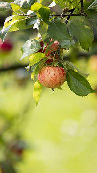 Apple, Fruit, Tree, Nature, Yellow, Mature, Healthy