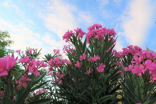 Flower, Nature, Summer, Oleander, Plant, Pink, Garden