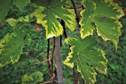 Grapes, Foliage, Vineyard, Vines, Green, Close Up