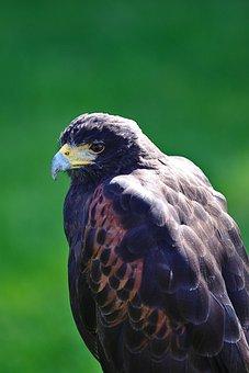 Harris Hawk, Raptor, Bird