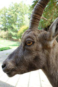 Capricorn, Animal, Eye, Zoo, Animal Portrait, Head