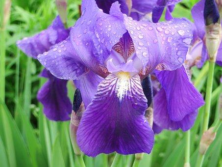 Iris, Iris Bearded, Flower, Blue, Purple, Garden