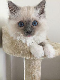 Ragdoll, Kitten, Cat